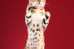 standing bengal kitten